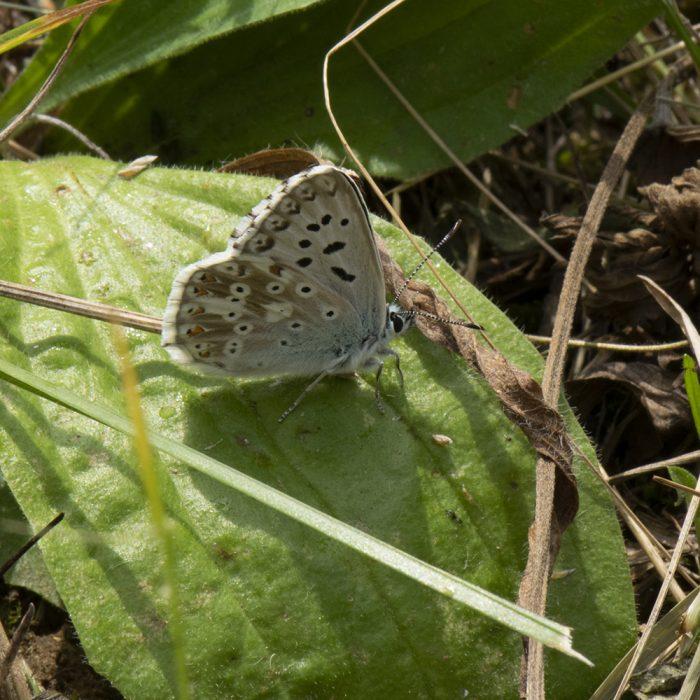 Silbergrüner Bläuling (Lysandra coridon) auf Wiese