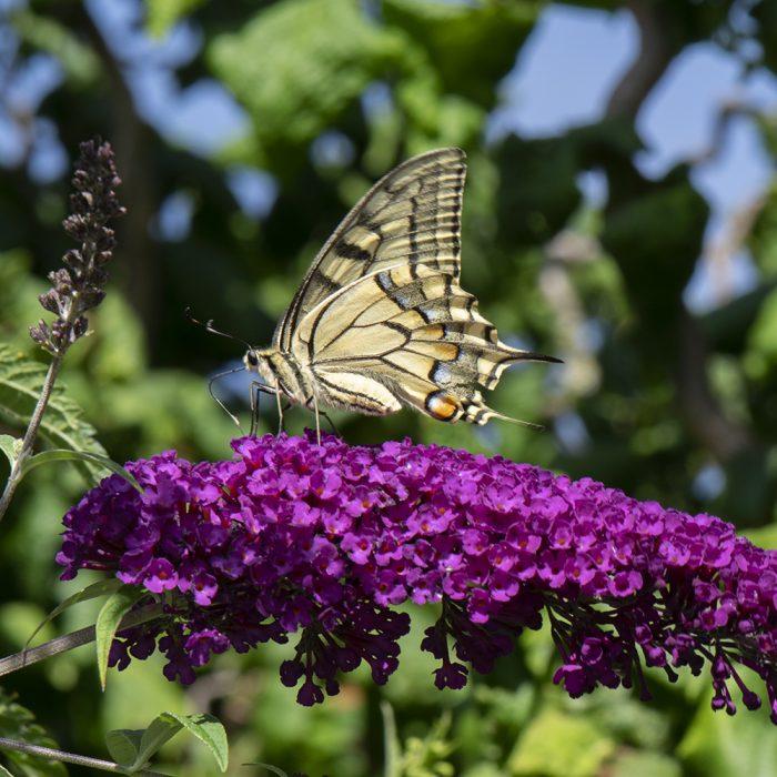 Schwalbenschwanz (Papilio machaon) auf Schmetterlingsflieder