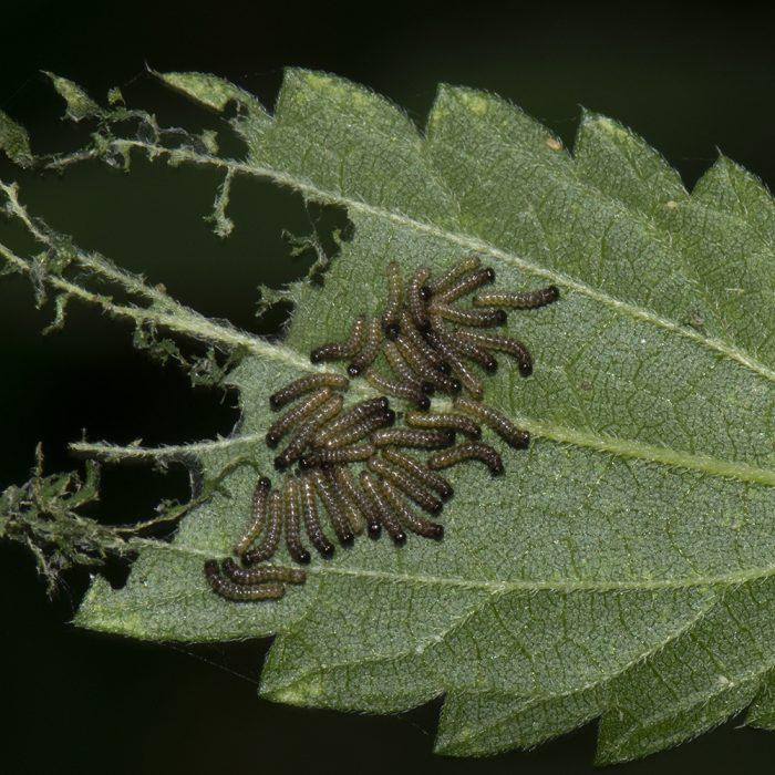 Landkärtchen (Araschnia levana) Raupen auf Brennnessel