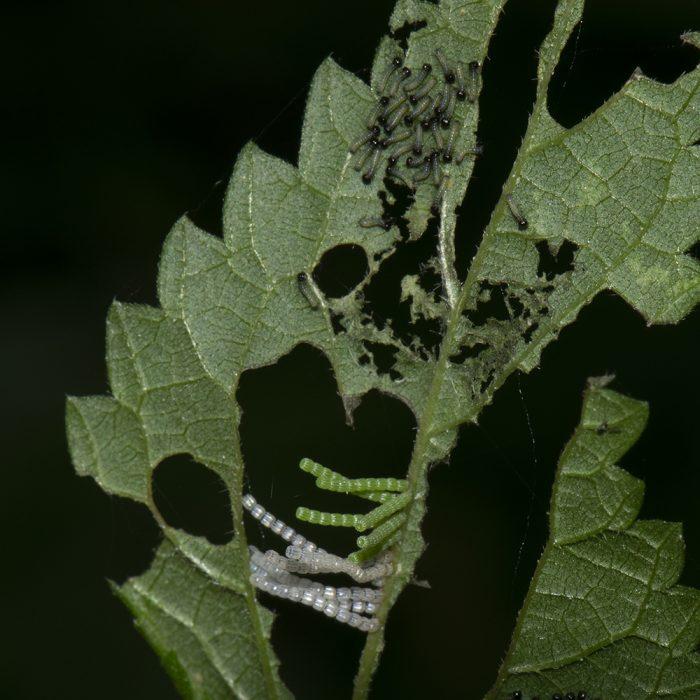 Landkärtchen (Araschnia levana) Raupen und Eier auf Brennnessel