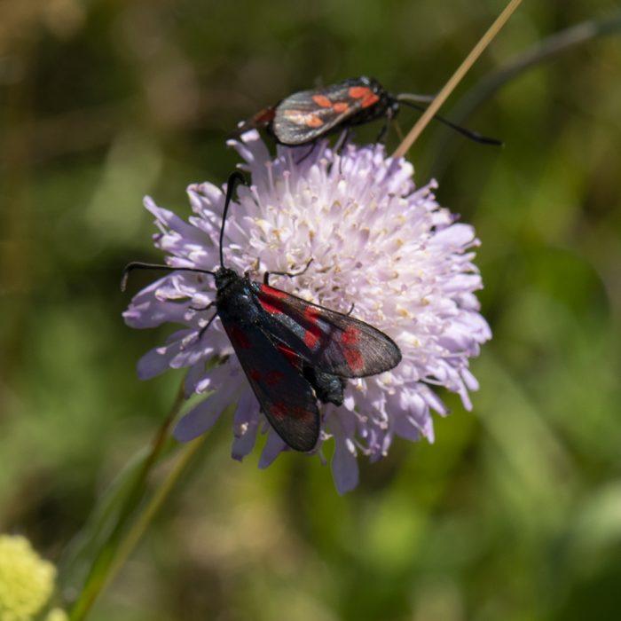 Sechsfleck-Widderchen (Zygaena filipendulae) auf Skabiose