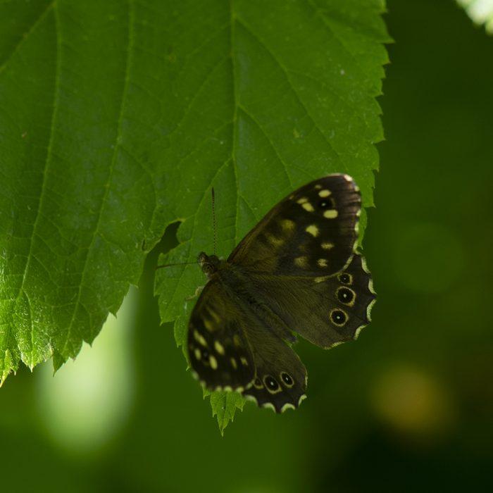 Waldbrettspiel (Pararge aegeria) auf Haselnuss