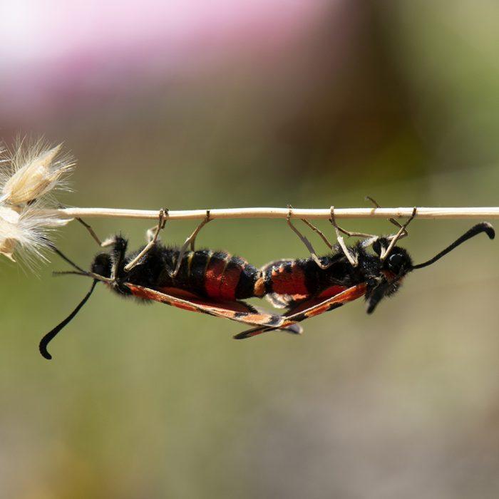 Bergkronwicken-Widderchen (Zygaena fausta) auf Gras