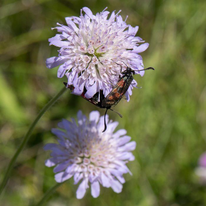 Esparsetten-Widderchen (Zygaena carniolica) auf Skabiose