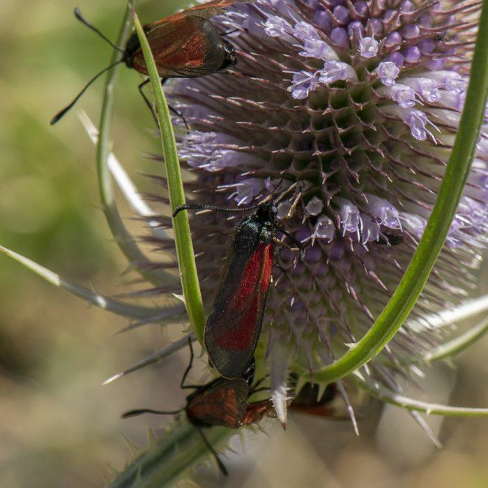 Bibernell-Widderchen (Zygaena minos/purpuralis) auf Wilder Karde