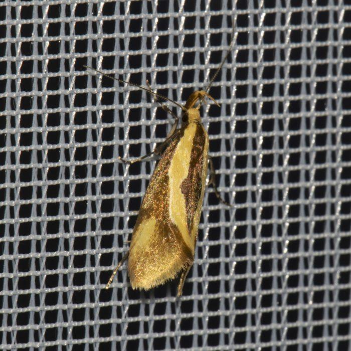 Braungelbe Faulholzmotte (Harpella forficella) beim abendlichen Leuchten