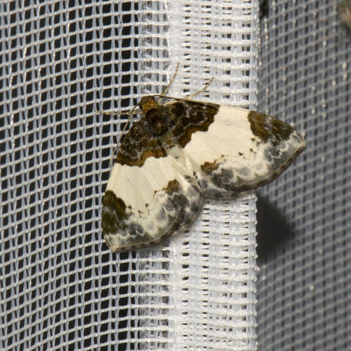 Brombeer-Blattspanner (Mesoleuca albicillata) beim abendlichen Leuchten