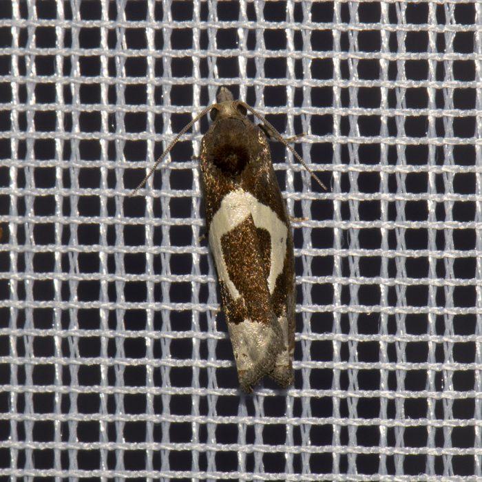 Sichel-Beifußwickler (Epiblema foenella) beim abendlichen Leuchten