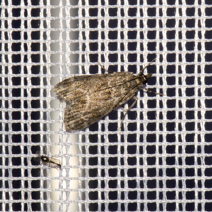 Kleiner Grauzünsler (Eudonia mercurella) beim abendlichen Leuchten