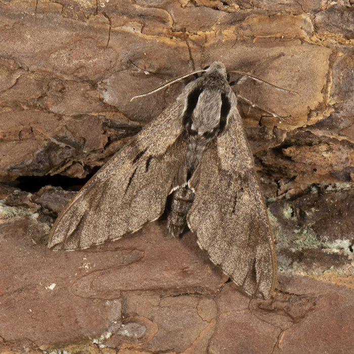Kiefernschwärmer (Sphinx pinastri) auf Holz