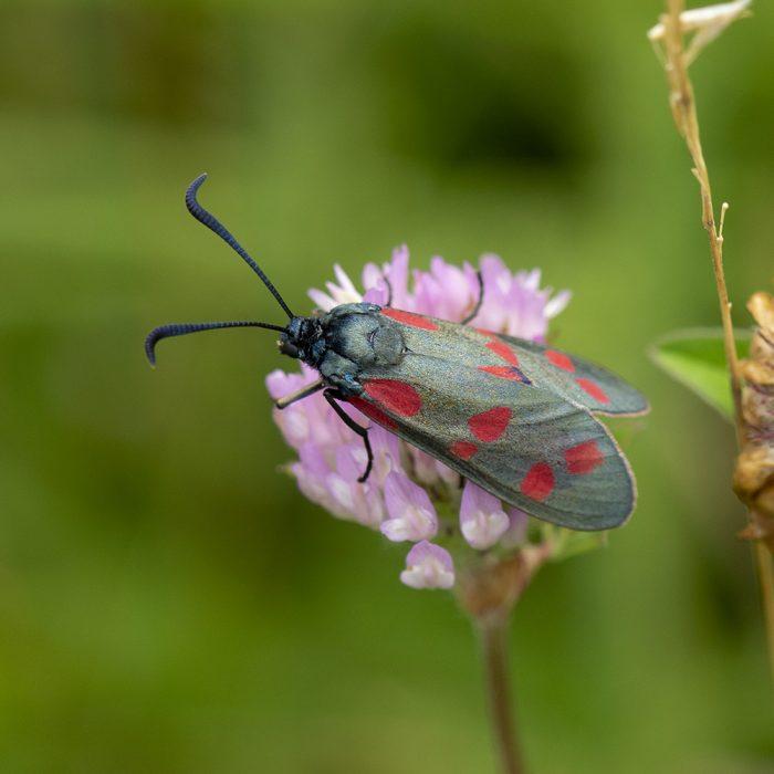 Sechsfleck-Widderchen (Zygaena filipendulae) auf Rotklee