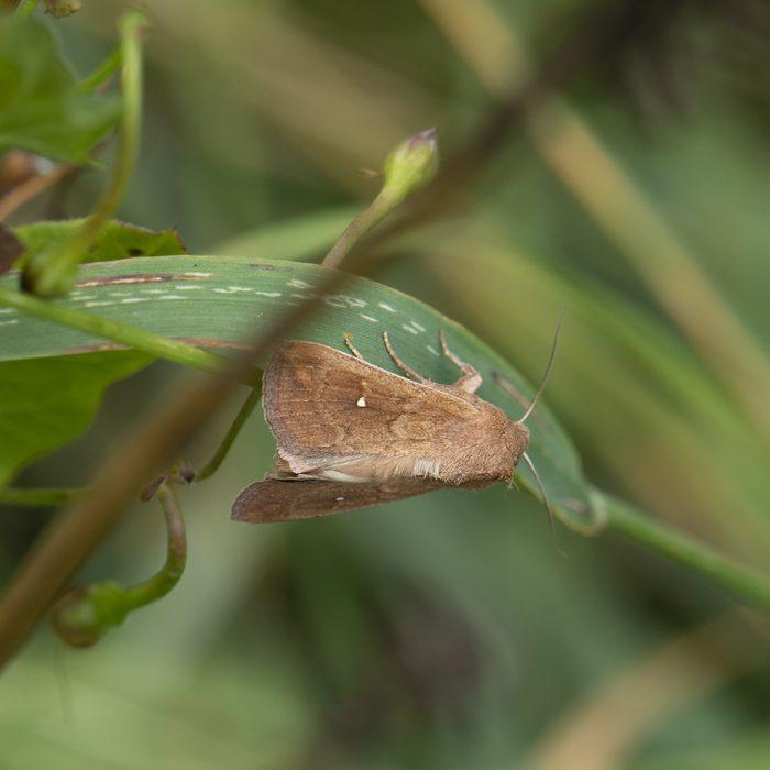Weißpunkt-Graseule (Mythimna albipuncta) auf Gras