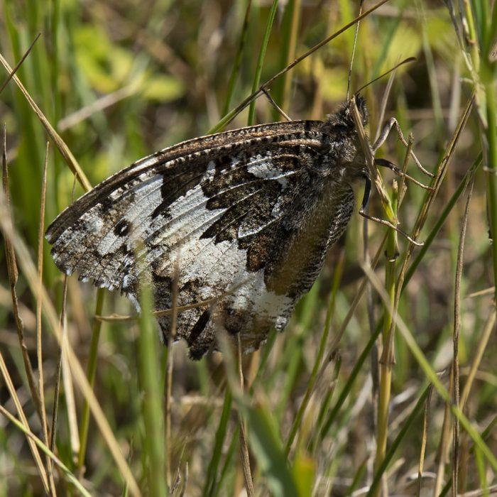 Weißer Waldportier (Brintesia circe) auf Gras