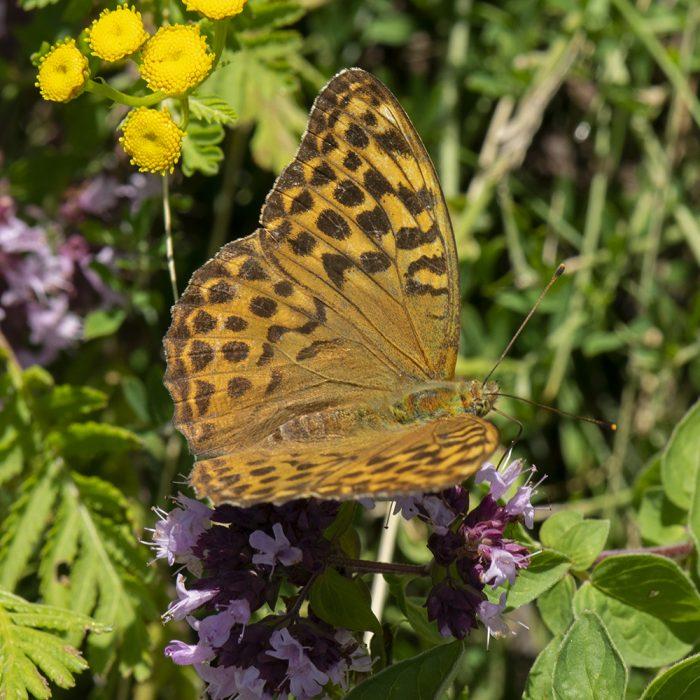 Kaisermantel (Argynnis paphia) auf Wildem Majoran