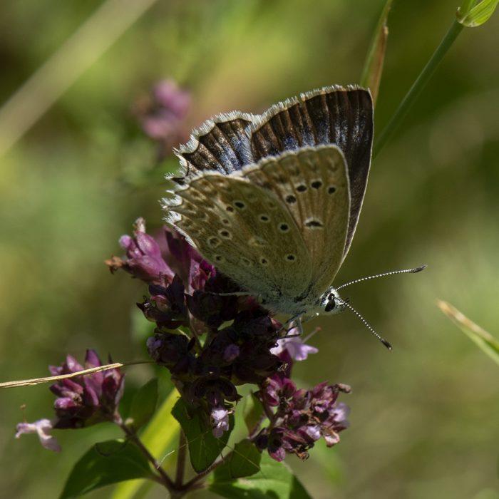 Zahnflügel-Bläuling (Polyommatus daphnis) auf Wildem Majoran