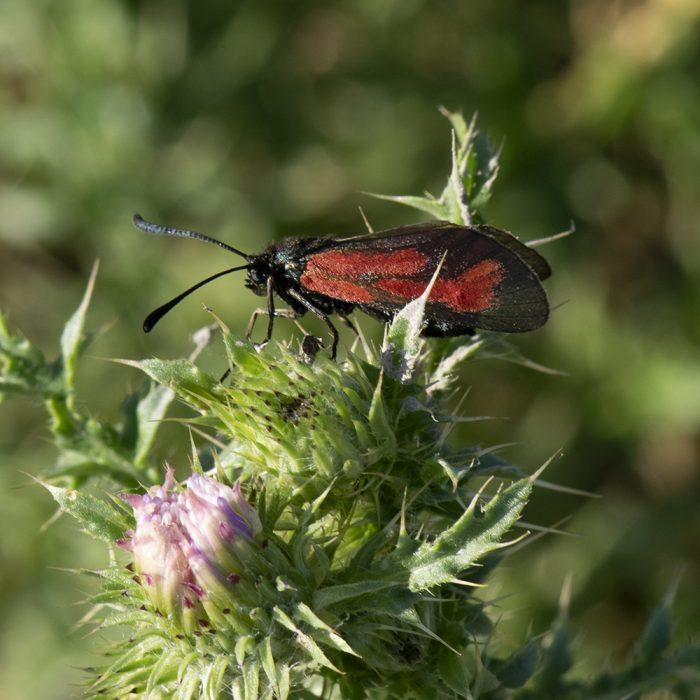 Bibernell-Widderchen (Zygaena minos/purpuralis) auf Distel