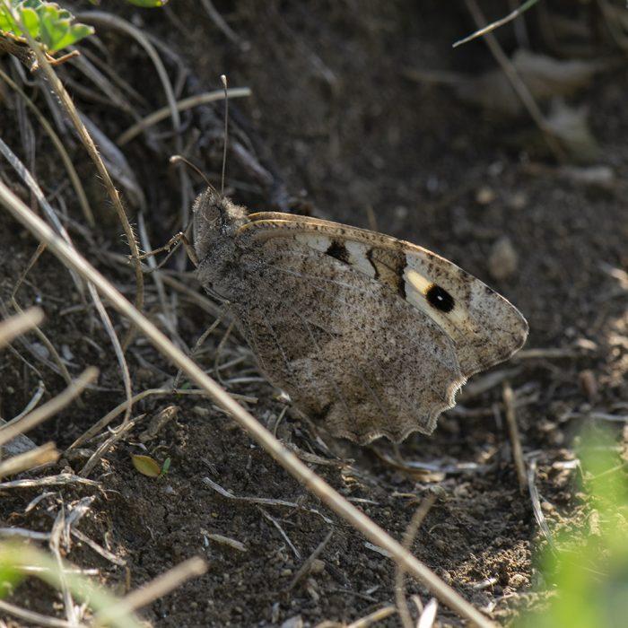 Berghexe (Chazara briseis) auf Boden