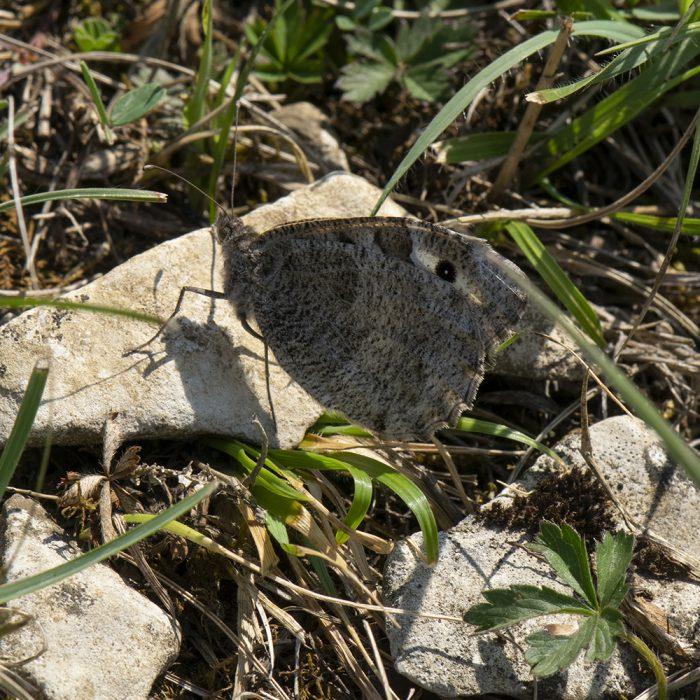 Berghexe (Chazara briseis) auf Stein