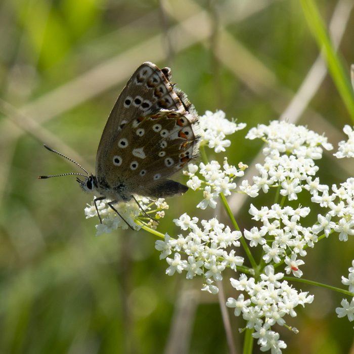Himmelblauer Bläuling (Lysandra bellargus) auf Giersch