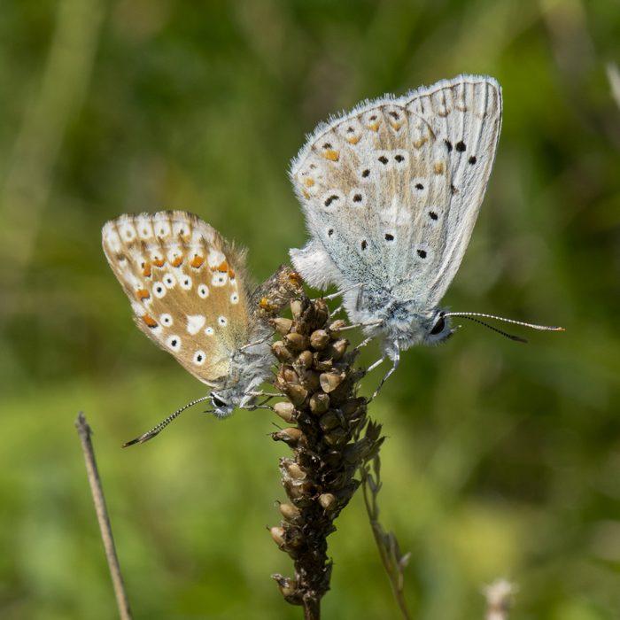 Silbergrüner Bläuling (Lysandra coridon) auf Wildblume