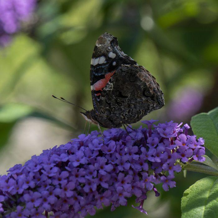 Admiral (Vanessa atalanta) auf Schmetterlingsflieder