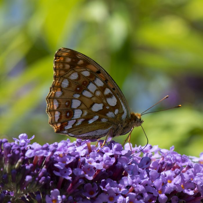 Feuriger Perlmutterfalter (Fabriciana adippe) auf Schmetterlingsflieder