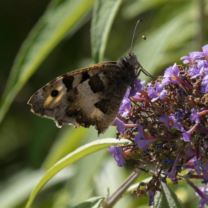 Berghexe (Chazara briseis) auf Schmetterlingsflieder