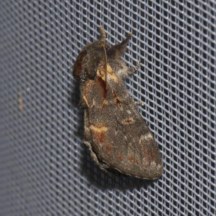 Dromedar-Zahnspinner (Notodonta dromedarius) beim abendlichen Leuchten