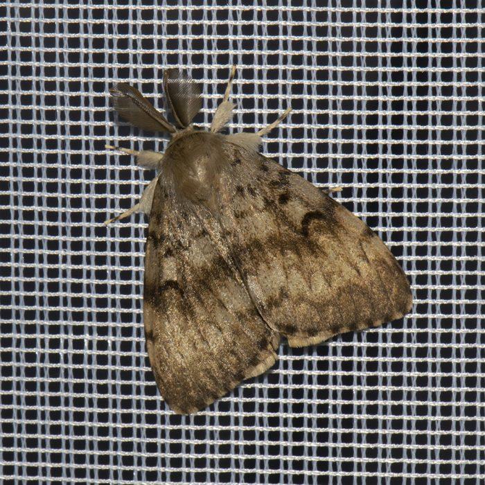 Schwammspinner (Lymantria dispar) beim abendlichen Leuchten