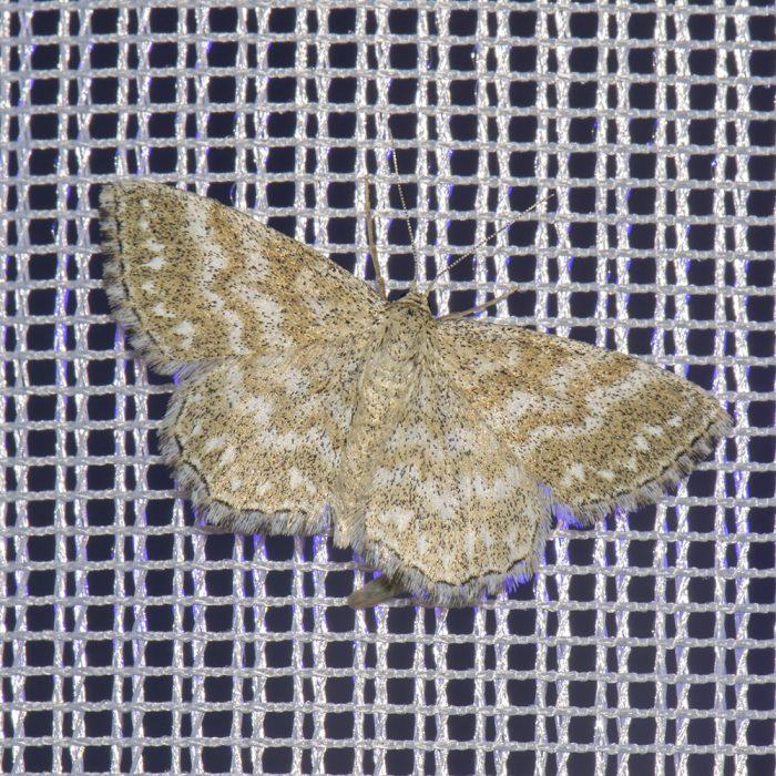 Marmorierter Kleinspanner (Scopula immorata) beim abendlichen Leuchten