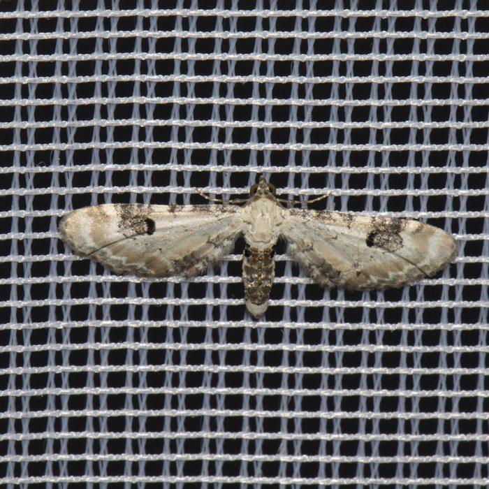 Mondfleckiger Blütenspanner (Eupithecia centaureata) beim abendlichen Leuchten