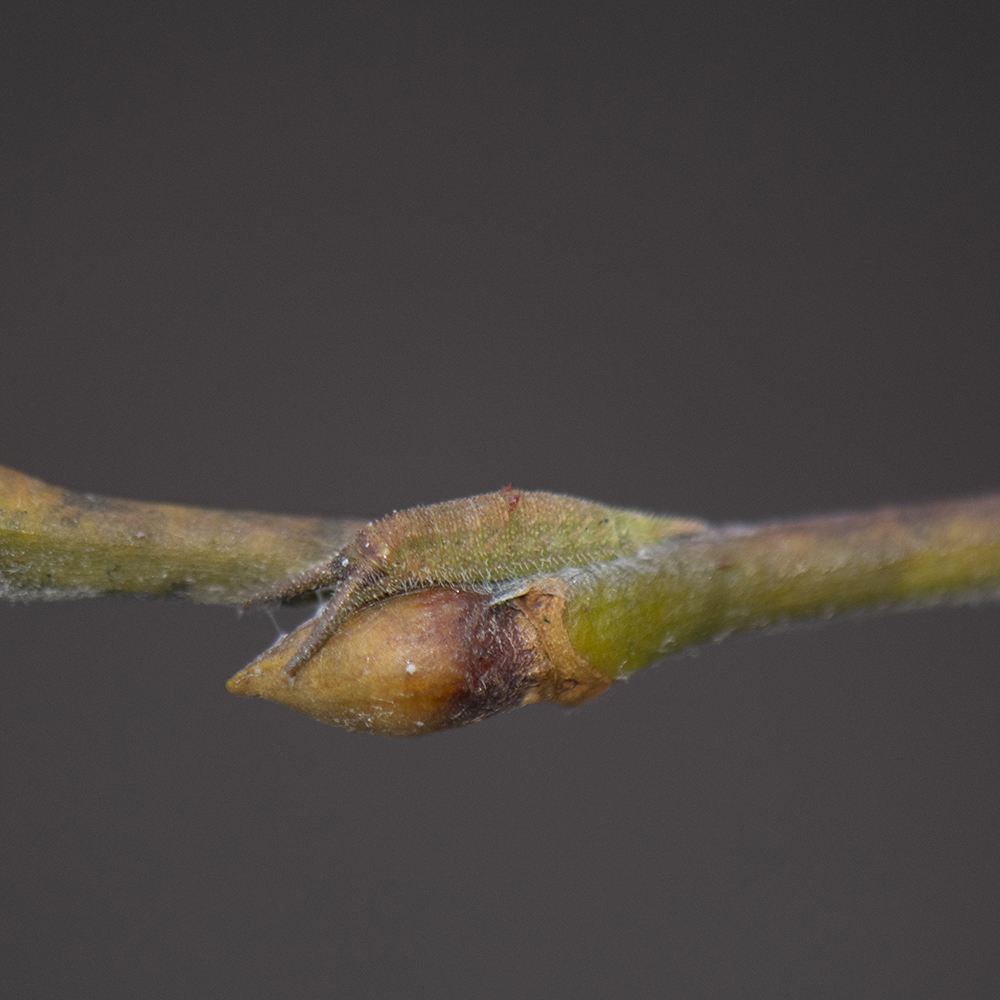 Großer Schillerfalter (Apatura iris) Raupe auf Salweide