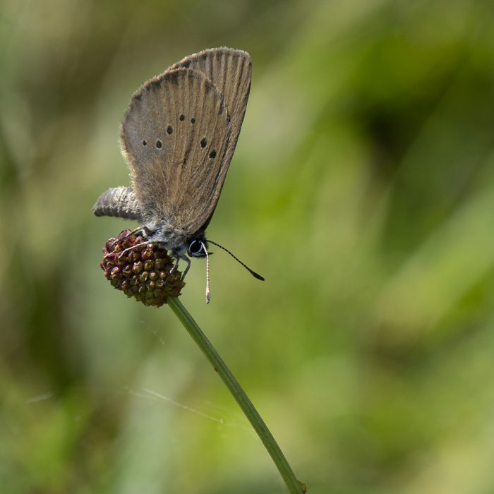 Dunkler Wiesenknopf-Ameisenbläuling (Phengaris nausithous) auf Großem Wiesenknopf