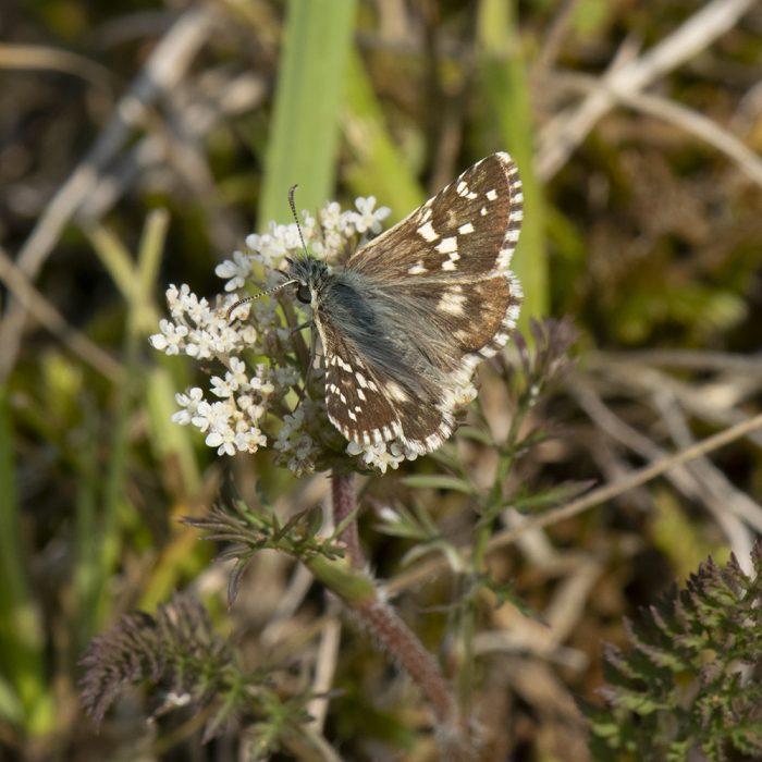 Spätsommer-Würfel-Dickkopffalter (Pyrgus cirsii) auf Wildblume