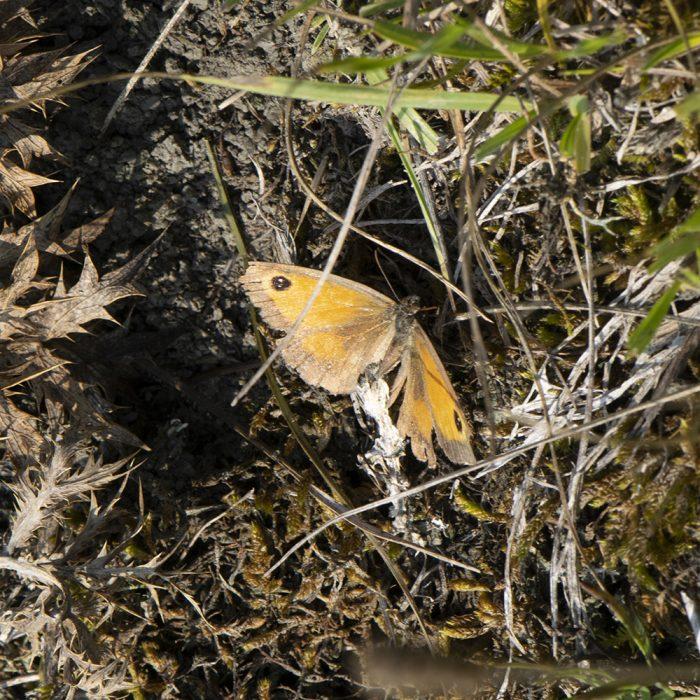 Rotbraunes Ochsenauge (Pyronia tithonus) auf Boden