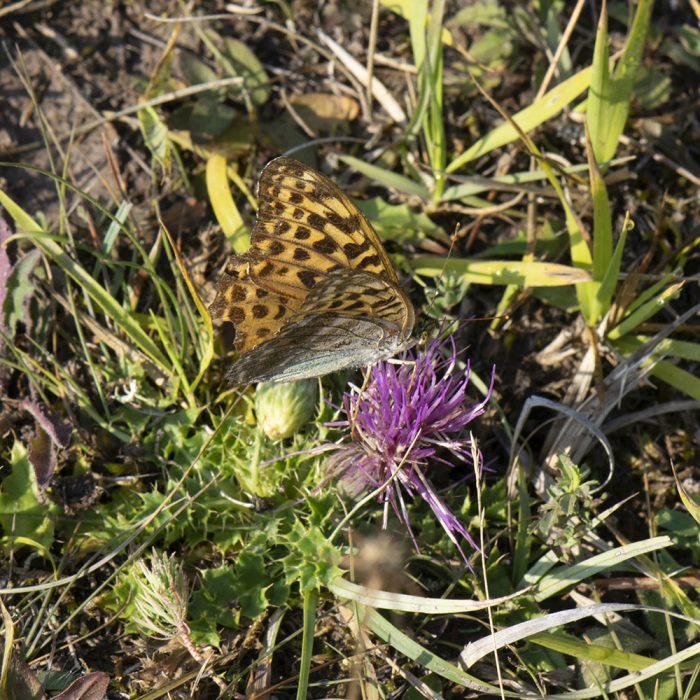 Kaisermantel (Argynnis paphia) auf Stengelloser Distel