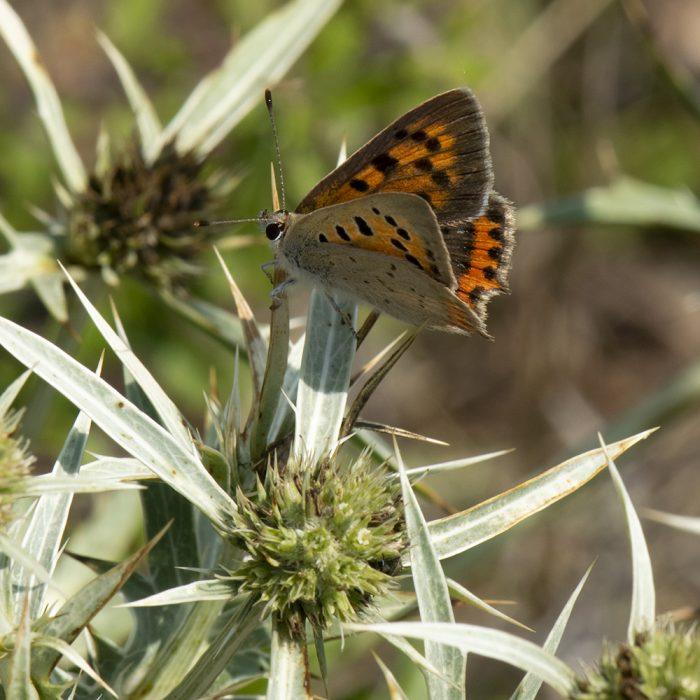 Kleiner Feuerfalter (Lycaena phlaeas) auf Feld-Mannstreu