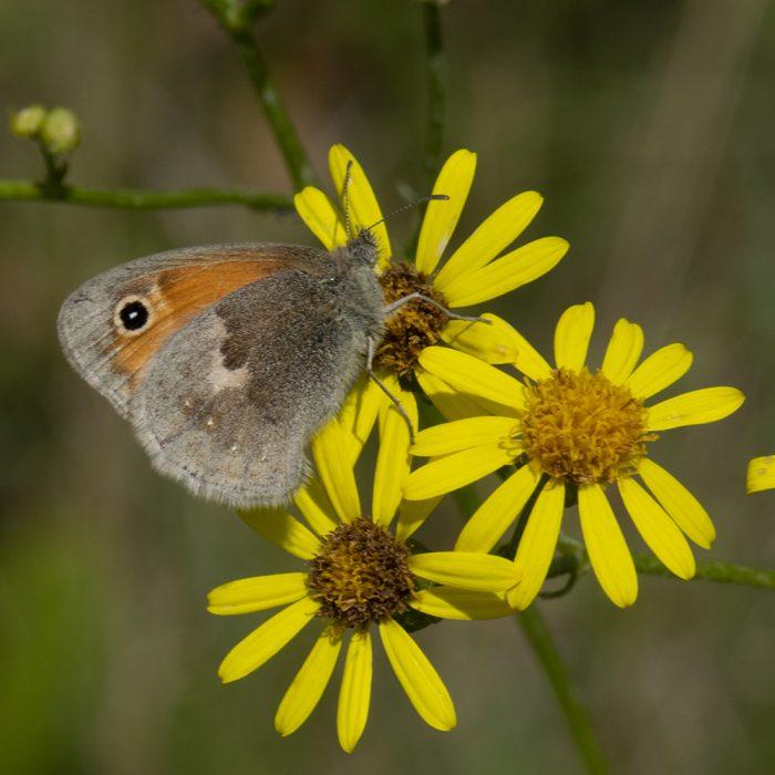 Kleines Wiesenvögelchen (Coenonympha pamphilus) auf Wildblume