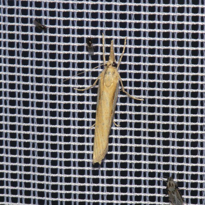 Gestreifter Graszünsler (Agriphila tristella) beim abendlichen Leuchten
