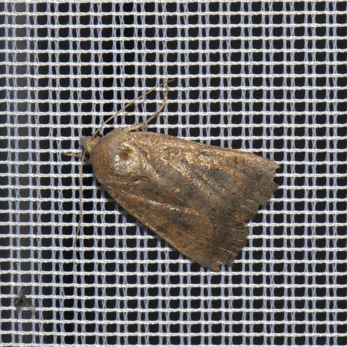 Hellbraune Bandeule (Noctua interjecta) beim abendlichen Leuchten