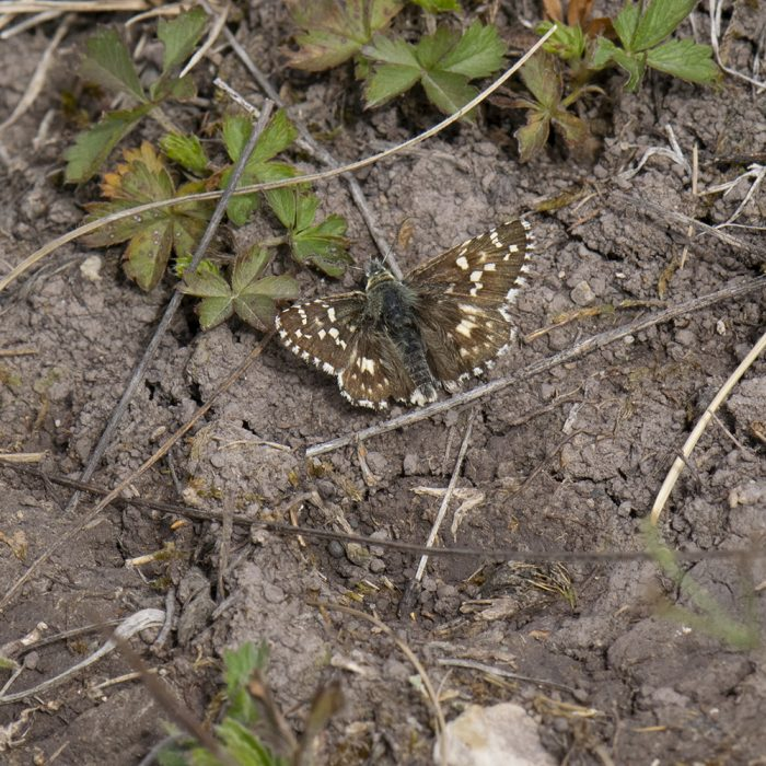 Spätsommer-Würfel-Dickkopffalter (Pyrgus cirsii) auf Boden