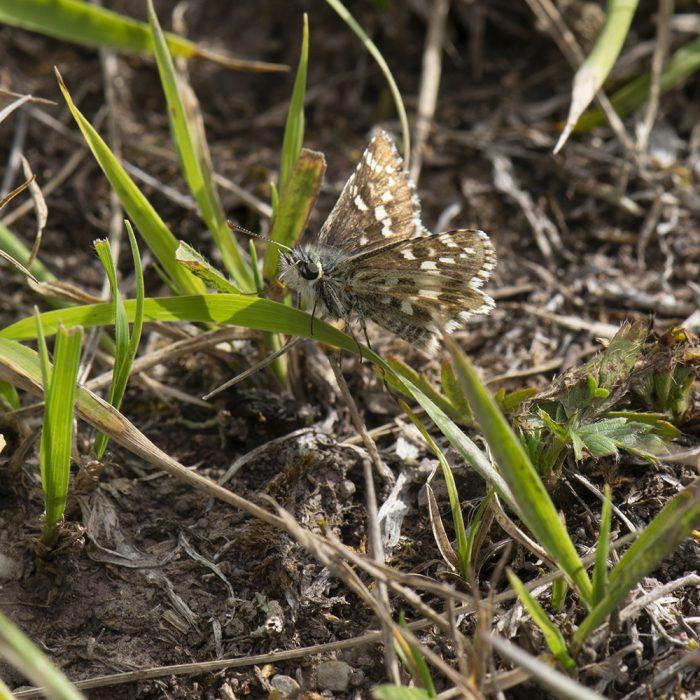 Spätsommer-Würfel-Dickkopffalter (Pyrgus cirsii) auf Gras