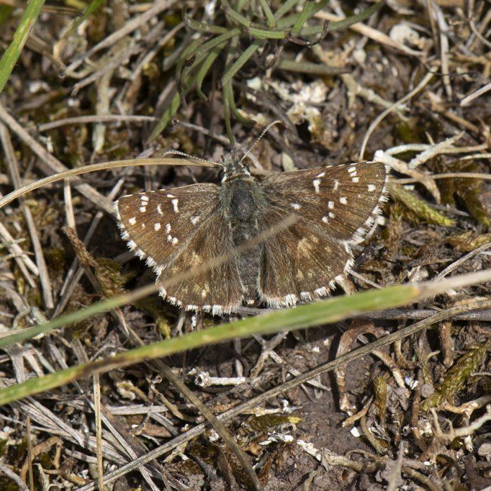 Mehrbrütiger Würfel-Dickkopffalter (Pyrgus armoricanus) auf Boden