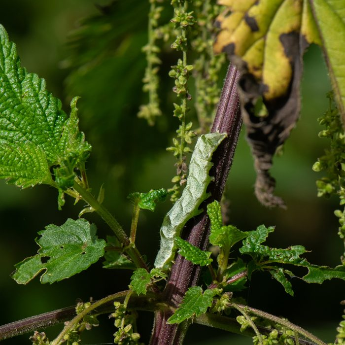 Flohkrauteule (Melanchra persicariae) Raupe auf Brennnessel