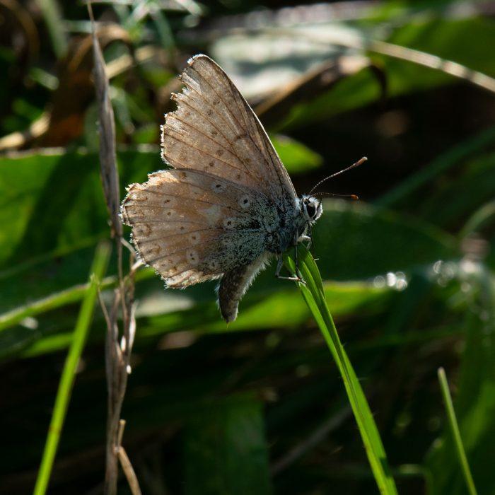 Silbergrüner Bläuling (Lysandra coridon) auf Gras