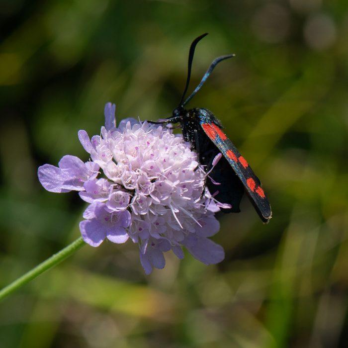 Hufeisenklee-Widderchen (Zygaena transalpina subsp. hippocrepidis) auf Skabiose