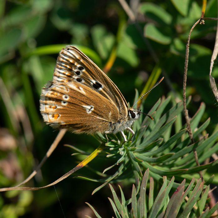 Silbergrüner Bläuling (Lysandra coridon) Aberration auf Wiese