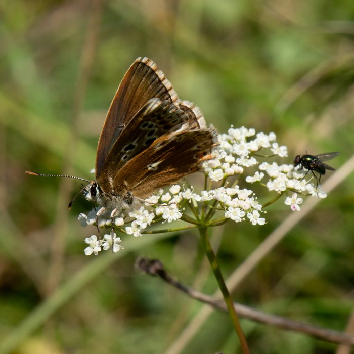 Silbergrüner Bläuling (Lysandra coridon) Aberration auf Wildblume