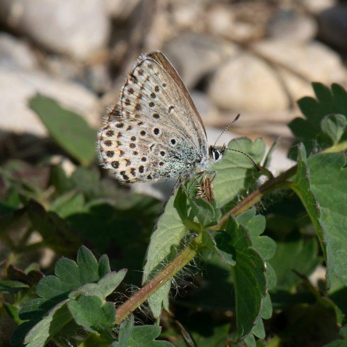 Idas-Bläuling (Plebejus idas) auf Wildblume