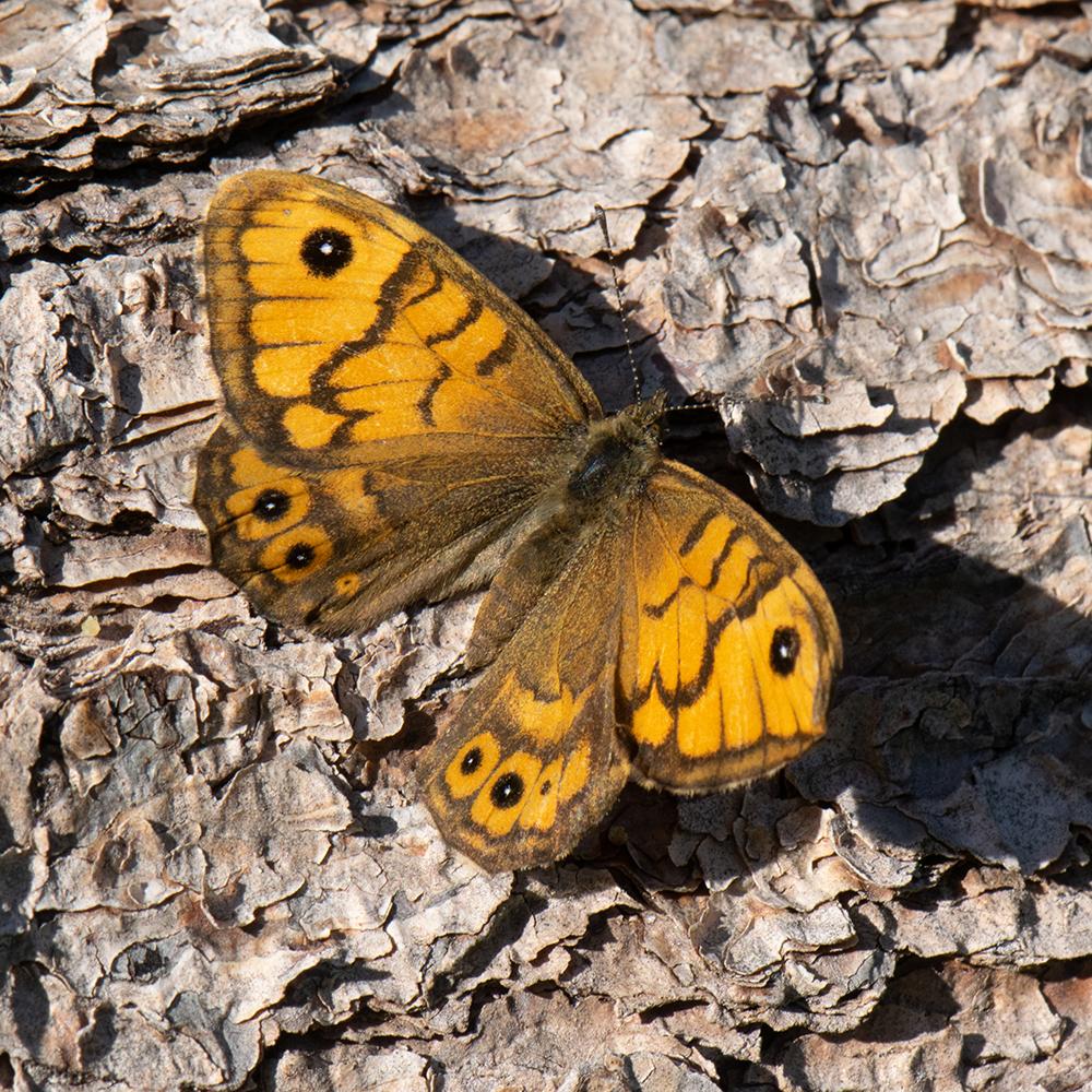 Mauerfuchs (Lasiommata megera) auf Baumstamm